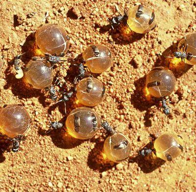 Fourmi à miel