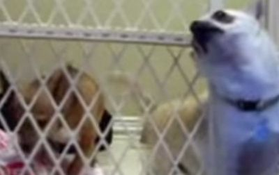 This Determined Chihuahua Made A Daring Jailbreak That'll Have You In Stitches