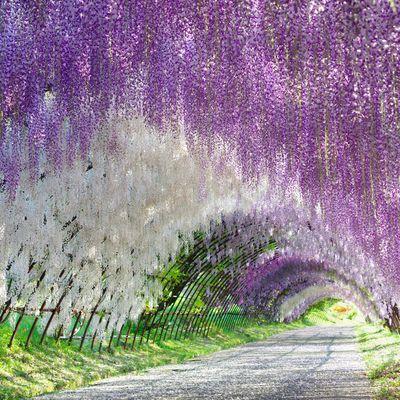 Tunnel Wisteria - Japon