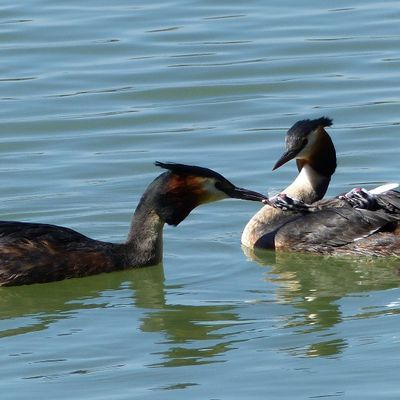 GREBE HUPPE, POUSSINS, ECLOSION, VIDEOS
