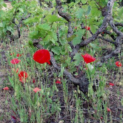 Adoptez un pied de vigne en biodynamie !
