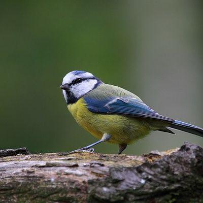 Comptage des oiseaux des jardins