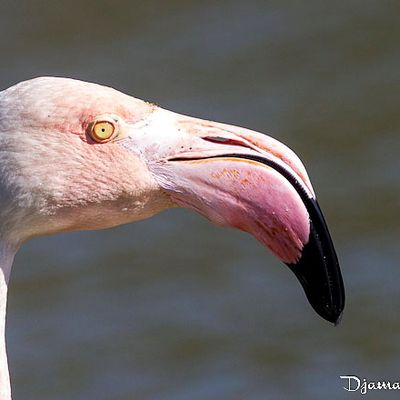 Flamant rose - Camargue