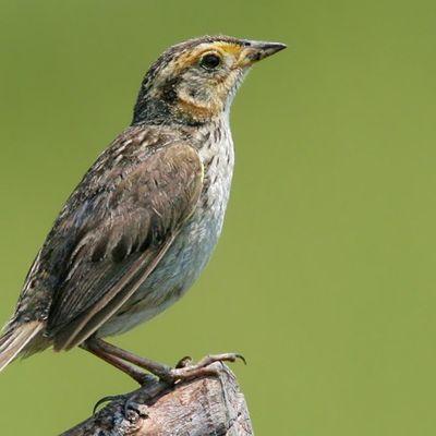Sparrow Ready To Fly