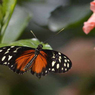Papillon heliconius hecale