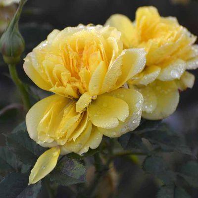 Deux roses en dialogue