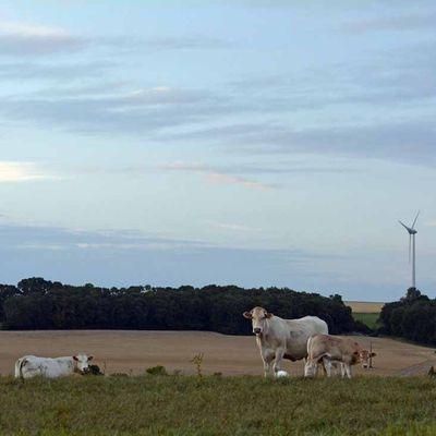 Les vaches et les éoliennes