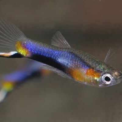 Poecilia Wingei Blue Star