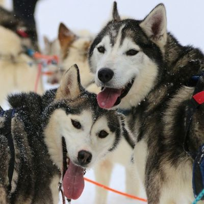Huskies, Snow and Fun
