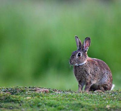 Nos petits lapins de garenne...