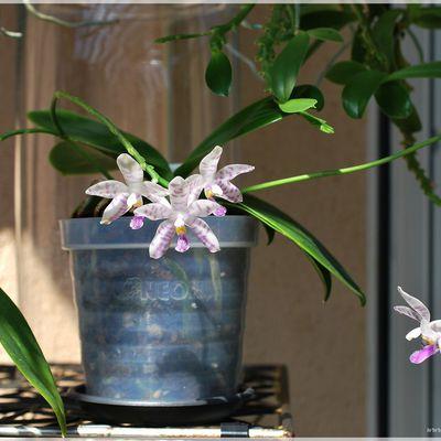 Phalaenopsis Alberla