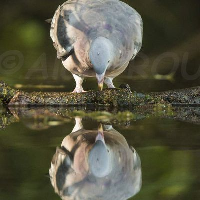 Pigeon ramier narcisse...