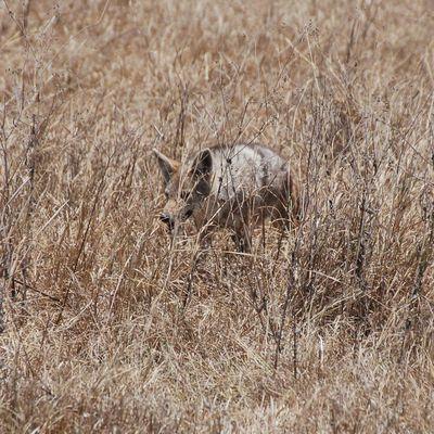016: Le chacal à chabraque