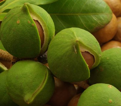 Going nuts:Taita-Taveta farmers set to reap big from macadamia