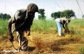 La récolte au sénégal