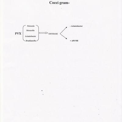 identification rapide d'un cocci gram -