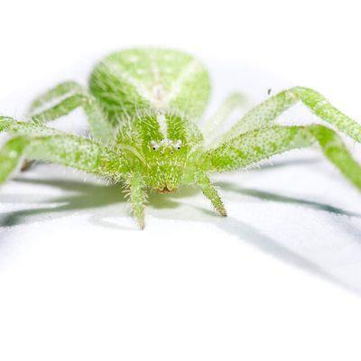 Heriaeus hirtus ♀ (Thomisidae)
