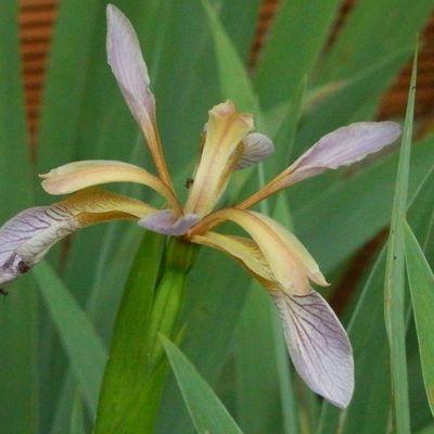 Neufchateau iris