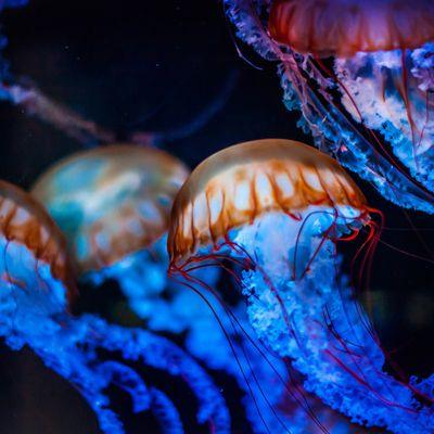 Les méduses !