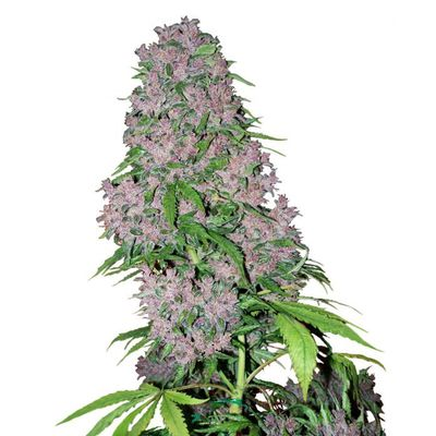 Purple Bud Feminized Seeds