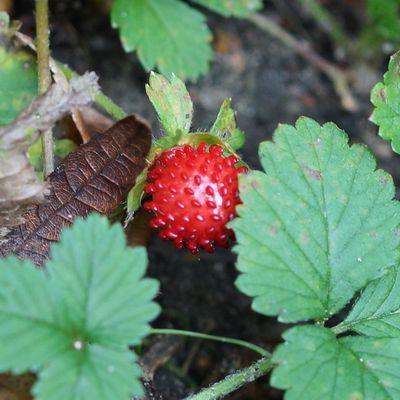 Faux-fraisier ou fraisier des indes