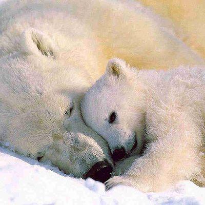 L'ours blanc en danger et l'Europe l'abandonne!!!