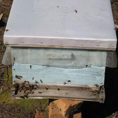 Cuáles son las abejas ideales para practicar la apiterapia para un tratamiento médico?