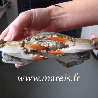 Un crabe bleu péché devant Hardelot