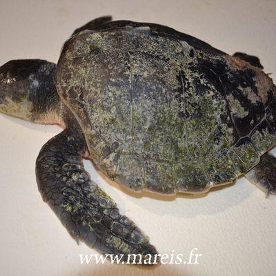 Une tortue marine retrouvée morte sur la plage du Touquet