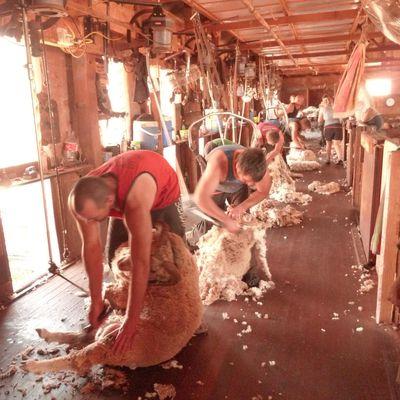 Ueberall sind Schafe – sheepies sheepies sheepies