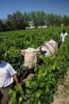 Vigne Labour animal Cavavin Niort
