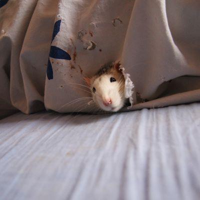 Conseil pour acheter/adopter un rat