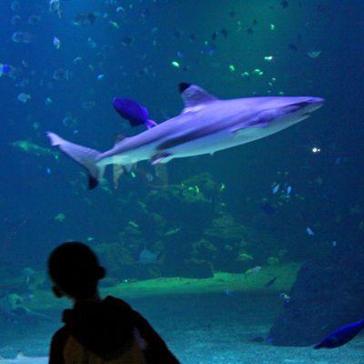 L'utilisation des cartilages de requin