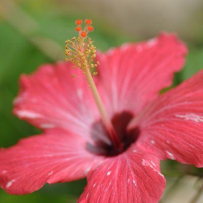 Comment tailler les hibiscus de jardin ou Althea ?