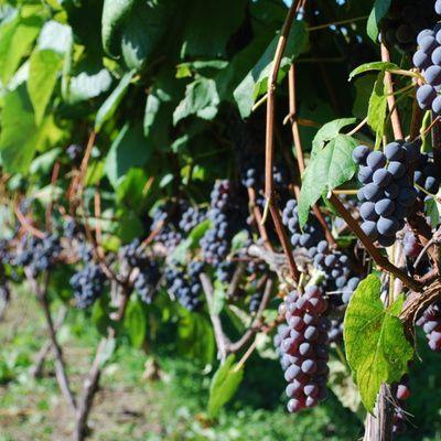 Tout savoir sur les vins d'appelation Côtes du Rhône villages