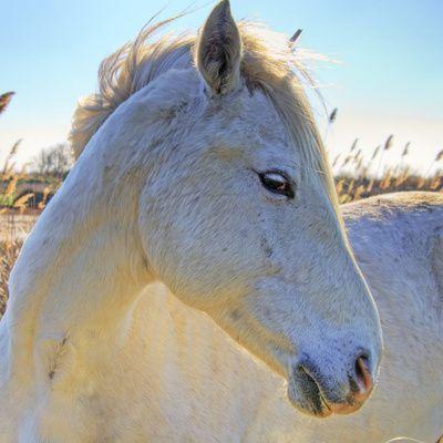Le cheval Camargue