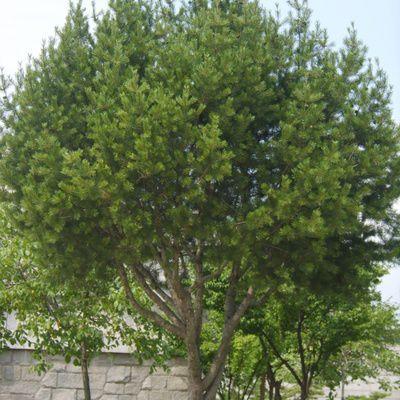 Pinus bungeana : description, habitat, culture