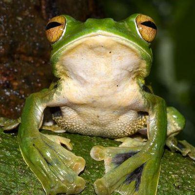 Nouvelle espèce de grenouille découverte !!!