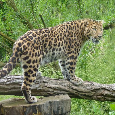 Panthère de l'amour du zoo des Sables d'Olonne