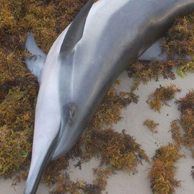 La pêche intensive décime les dauphins en France