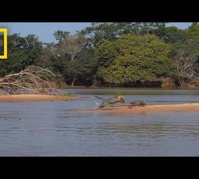 En Bolivie, l'intérêt des Chinois pour les canines de jaguar menace l'espèce (AFP/Sciences et Avenir)