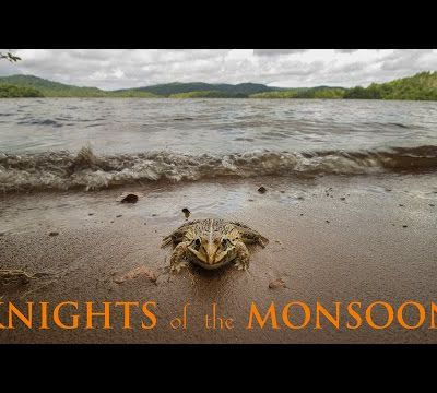 Knights of the Monsoon - Frogs of Sharavathi Valley
