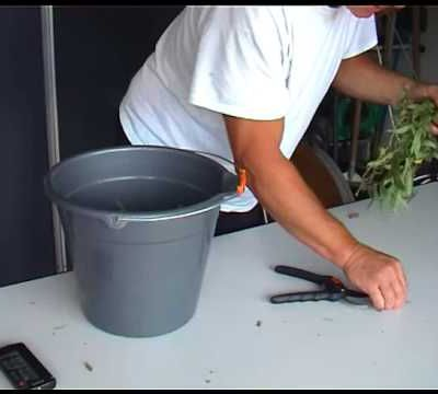 refaire de l'hormone de bouturage pour mes futures boutures de lavandes (en video )