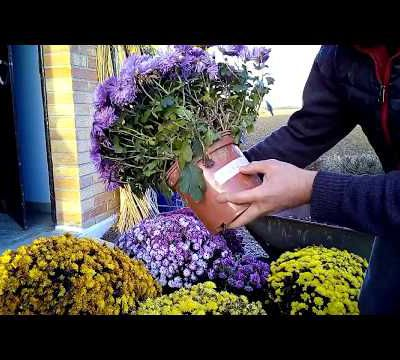 on ré-attaque nos boutures de chrysanthèmes en video