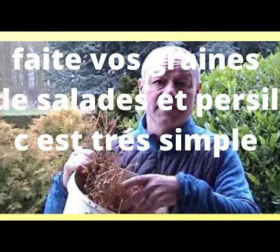 recolte des graines de persil  sechage  ( en video )