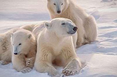 Les ours polaires ont proliféré depuis 1960 passant de 5 000 à plus de 25 000 animaux !