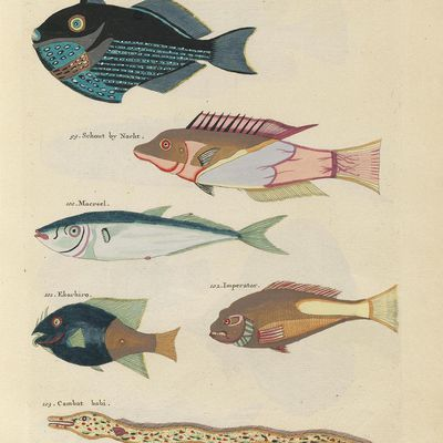 Louis Renard : Images from the First Colour Publication on Fish (1754)