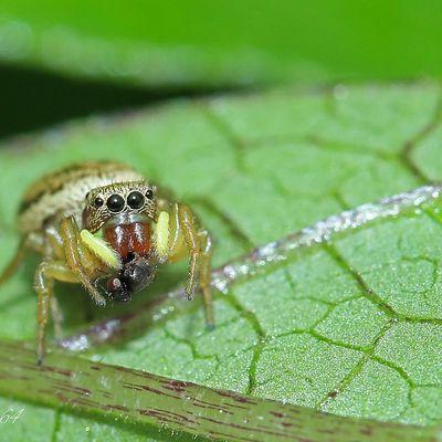 Araignée : Héliophanus