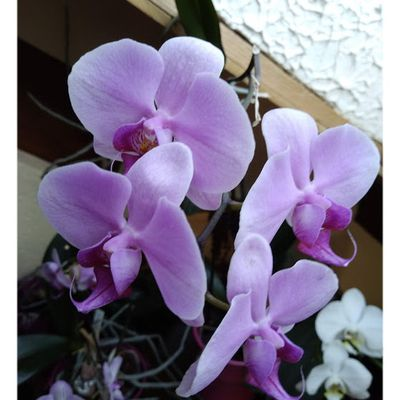 MES ORCHIDEES