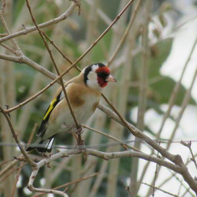 Les oiseaux du jardin (1)